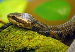 Florida Cottonmouth by MorrighanGW