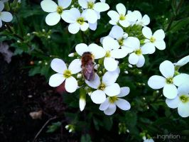Spring Flower and Bee 2012 - 13 by Ingnition