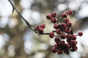 Red berries by Photoslick