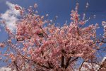 Pink blossom in Holland now.......... by Betuwefotograaf