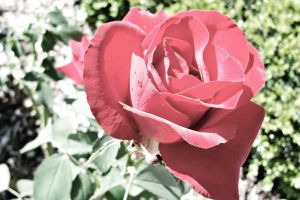 A Rose By Any Other Name by Photography3136