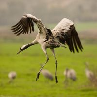 Common Crane by geostant