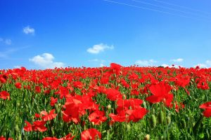 Field of Red by SMCGRANE