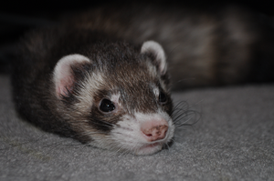 Mister Floppy Ferret by MorRokko