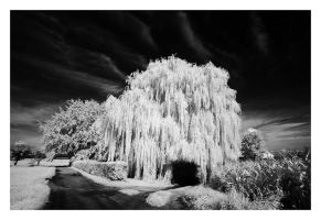 Weeping Willow II by vw1956