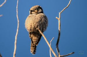Northern hawk-owl - Inquisitive by JestePhotography