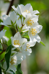 Apple blossoms by RobertKohler