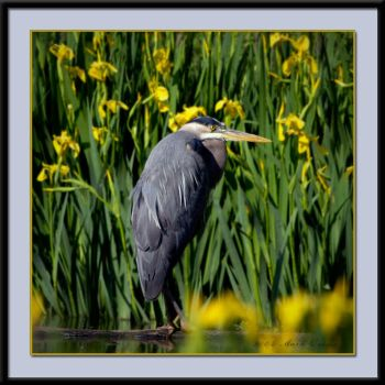 Great Blue Heron 4 by photosby-q