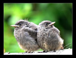 little redstarts by albatros1