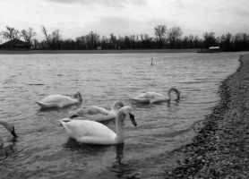 Swans at the lake by DOLLwithTHEglassLOOK