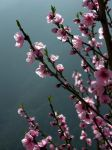 Peach blossoms by riviera2008