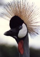 lb1-51 crested crane by bstocked