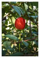 Red Tulipan by Bonfire22