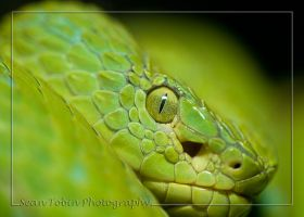 Palm Viper Portrait by ST77