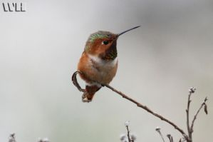 Small Hummingbird by WesHPhotography