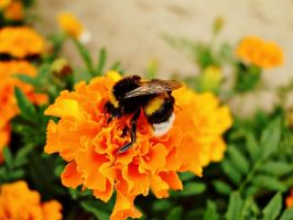 Bumble bee by Zsurzsi