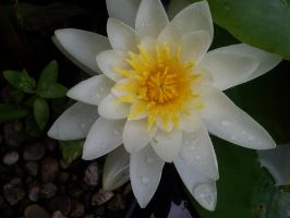 Water Lily by Flicker2011