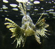 Lionfish 2 by SmellsLikeDookie