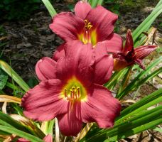 Hemerocallis by duggiehoo
