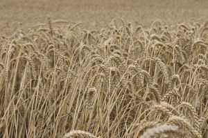 Wheat by elisiee