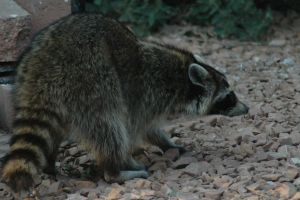 Racoon by glaube316