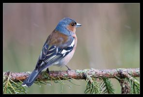 Charlie the Chaffinch by MessiahKhan