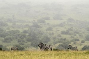 Zebras, South Africa Pt II by heatherae