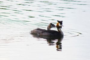 Great Crested Grebe and chick by Steve-FraserUK