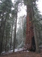 Sequoias in California 4 by FantasyStock
