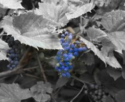 Blueberries by DanaHaynes