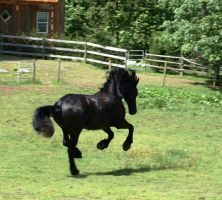 Friesian gallop by OnlyYouCan