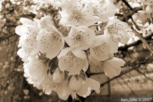 Cherry tree flowers by SkipShadowglass