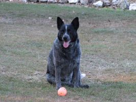Australian Cattle Dog by Louised