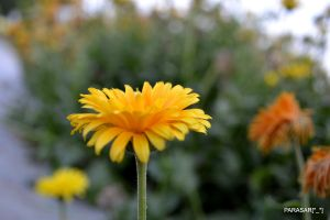 yellow beauty by techparasar