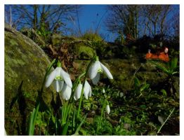 Fetch... the Comfy Snowdrops by jonnymorris