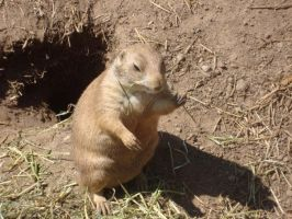 Prairie Dog Five by itsayskeds