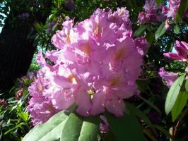 NYBG - rhododendron 2 by bunnytrybe