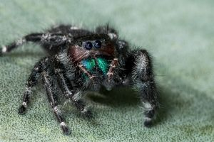 Daring jumping spider! by CyclicalCore