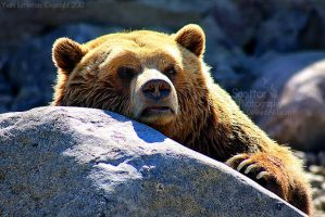 Daddy Bear by Sagittor