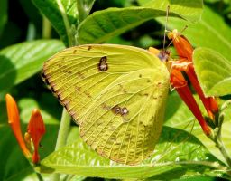 Cloudless Sulphur on Justicia leonardii by duggiehoo