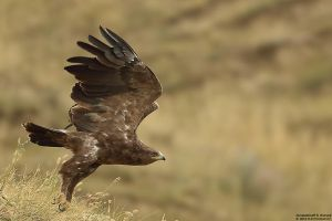 Aquila pomarina by RichardConstantinoff