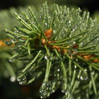 Waterdrops on a Pine by AgiVega