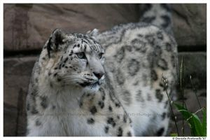 Snow Leopard by TVD-Photography