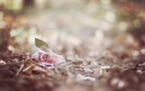 rose tints my world. by gloeckchen