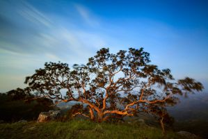 Fig tree in the Wind by carlosthe