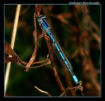 Doubleday's Bluet - 07 by boron
