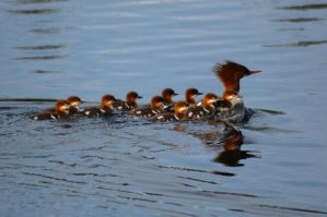 common merganser family by Glacierman54