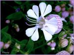 Bladder campion by Lupsiberg