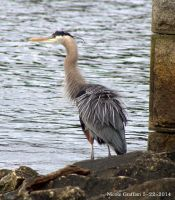 Great Blue Heron Fluffing by SlateGray