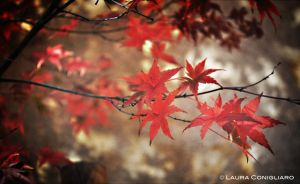 Maple by Pixturesque